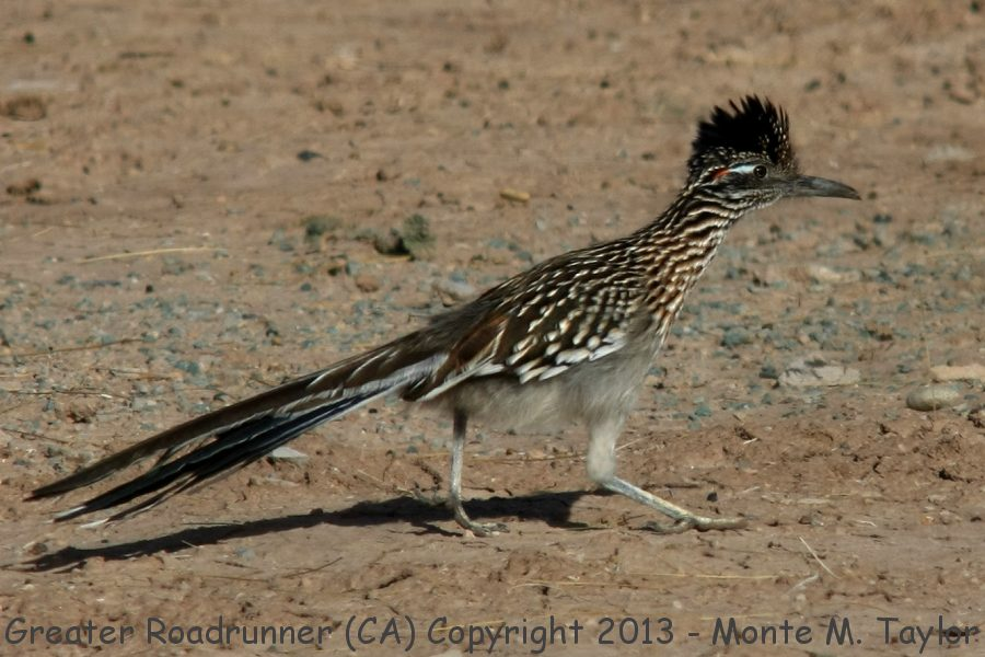 Greater Roadrunner clipart #4, Download drawings