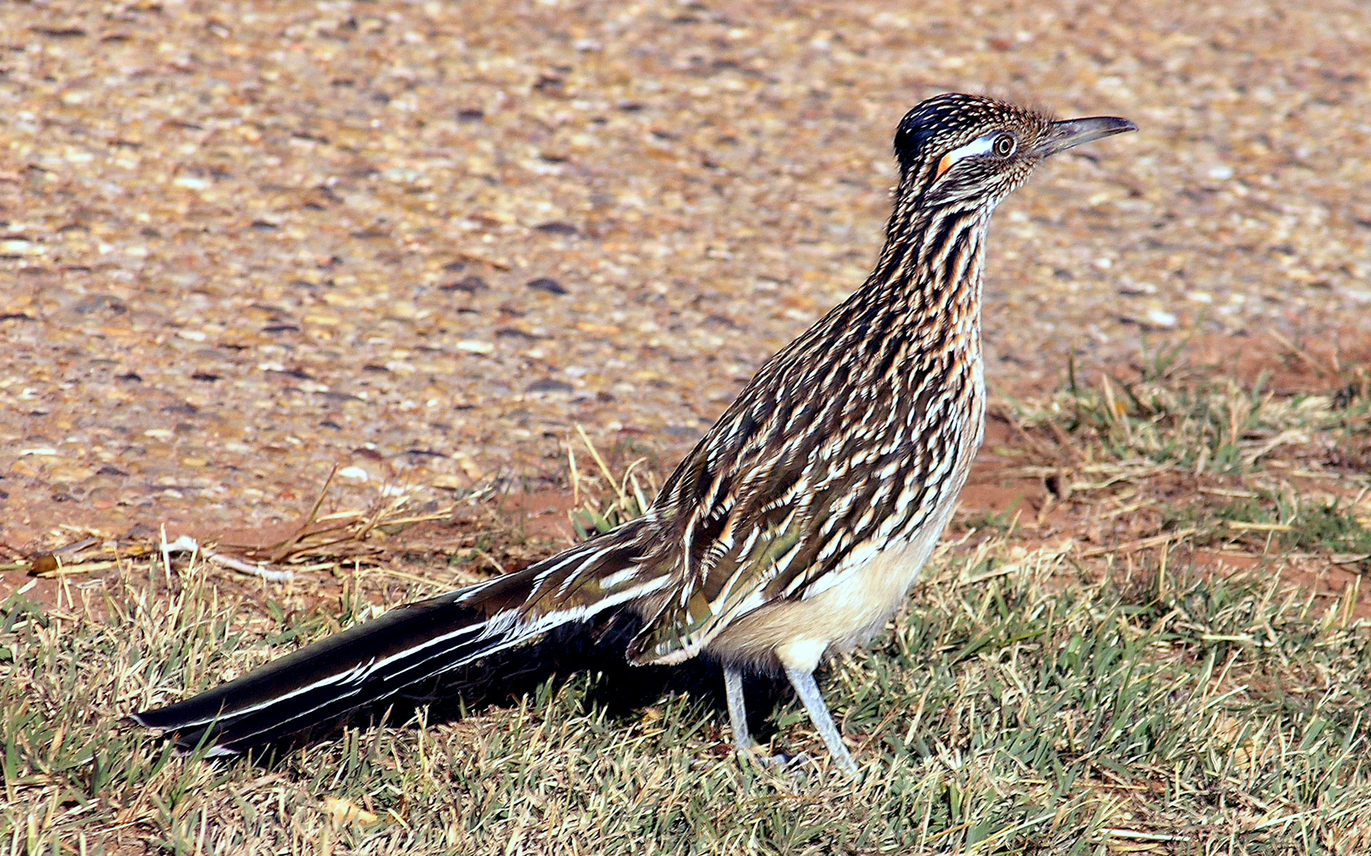 Greater Roadrunner clipart #2, Download drawings