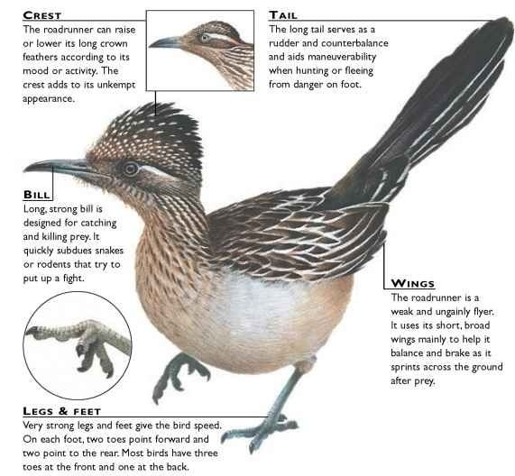 Greater Roadrunner clipart #3, Download drawings