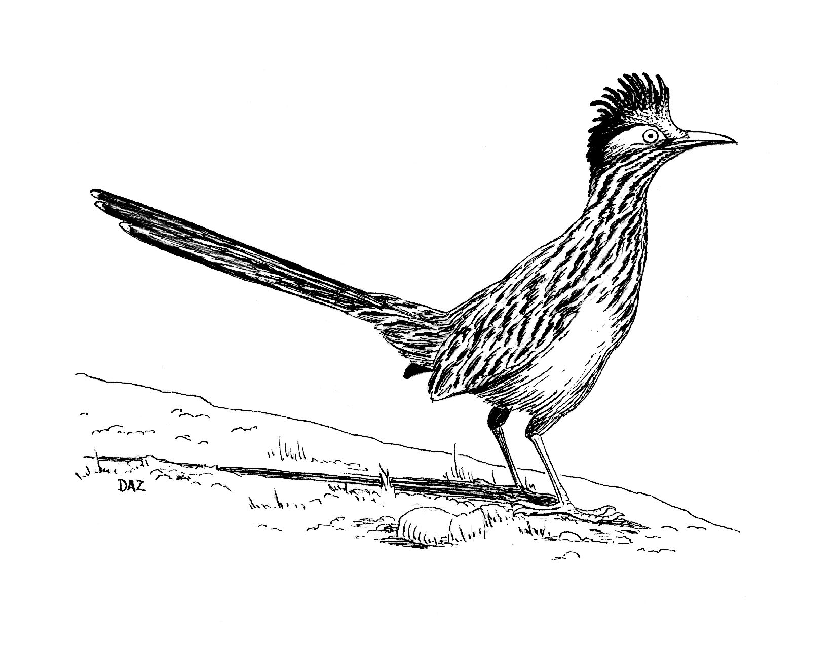 Greater Roadrunner clipart #6, Download drawings