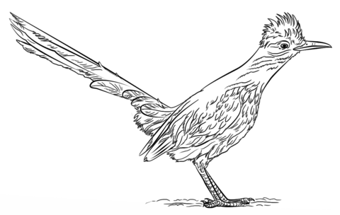Greater Roadrunner clipart #12, Download drawings