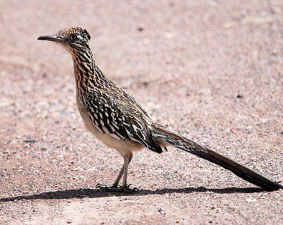 Greater Roadrunner svg #10, Download drawings