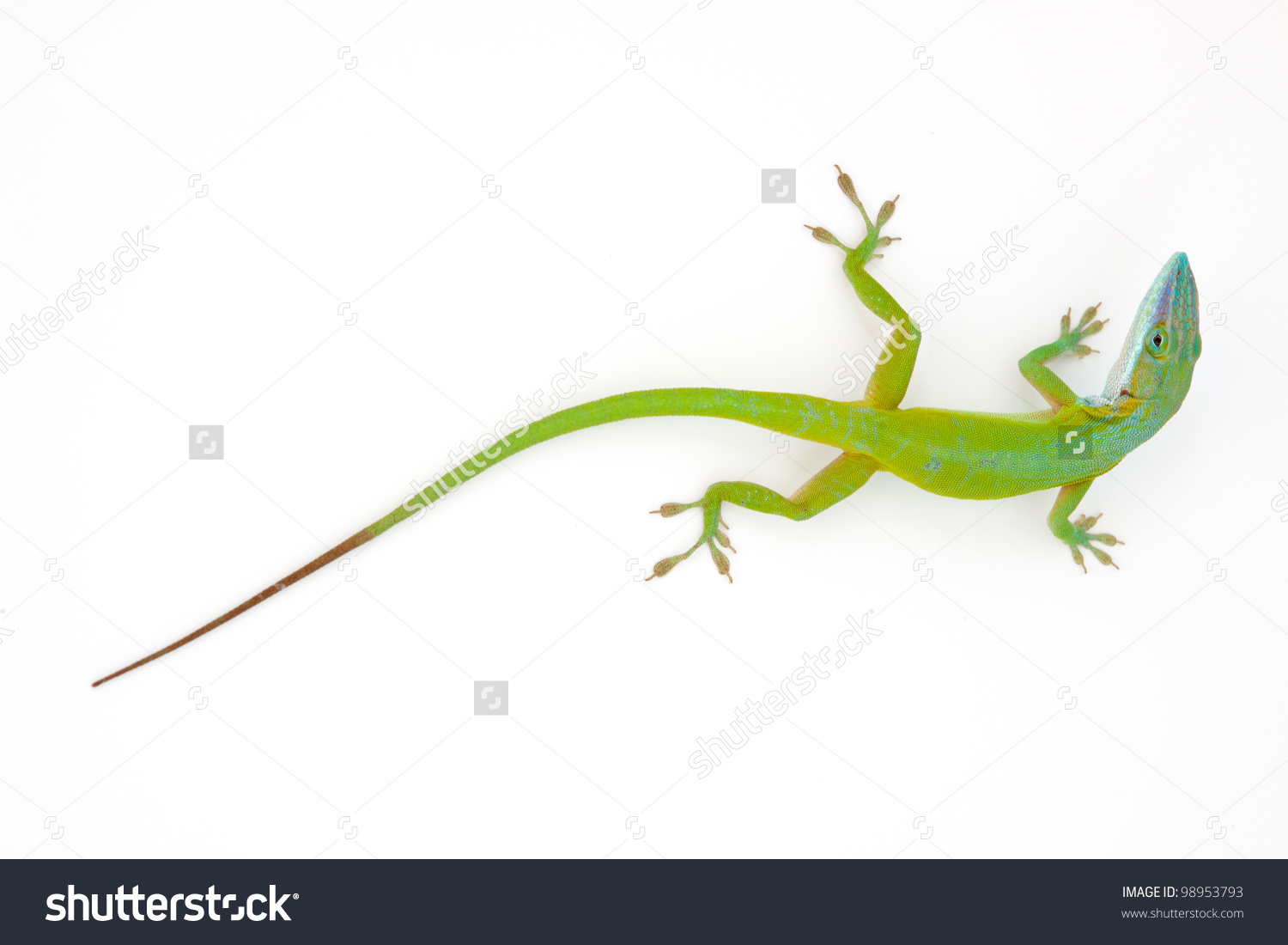 Green Anole clipart #7, Download drawings