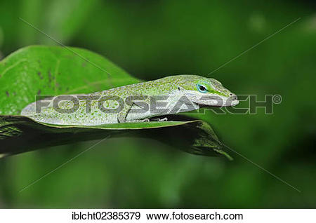 Green Anole clipart #8, Download drawings