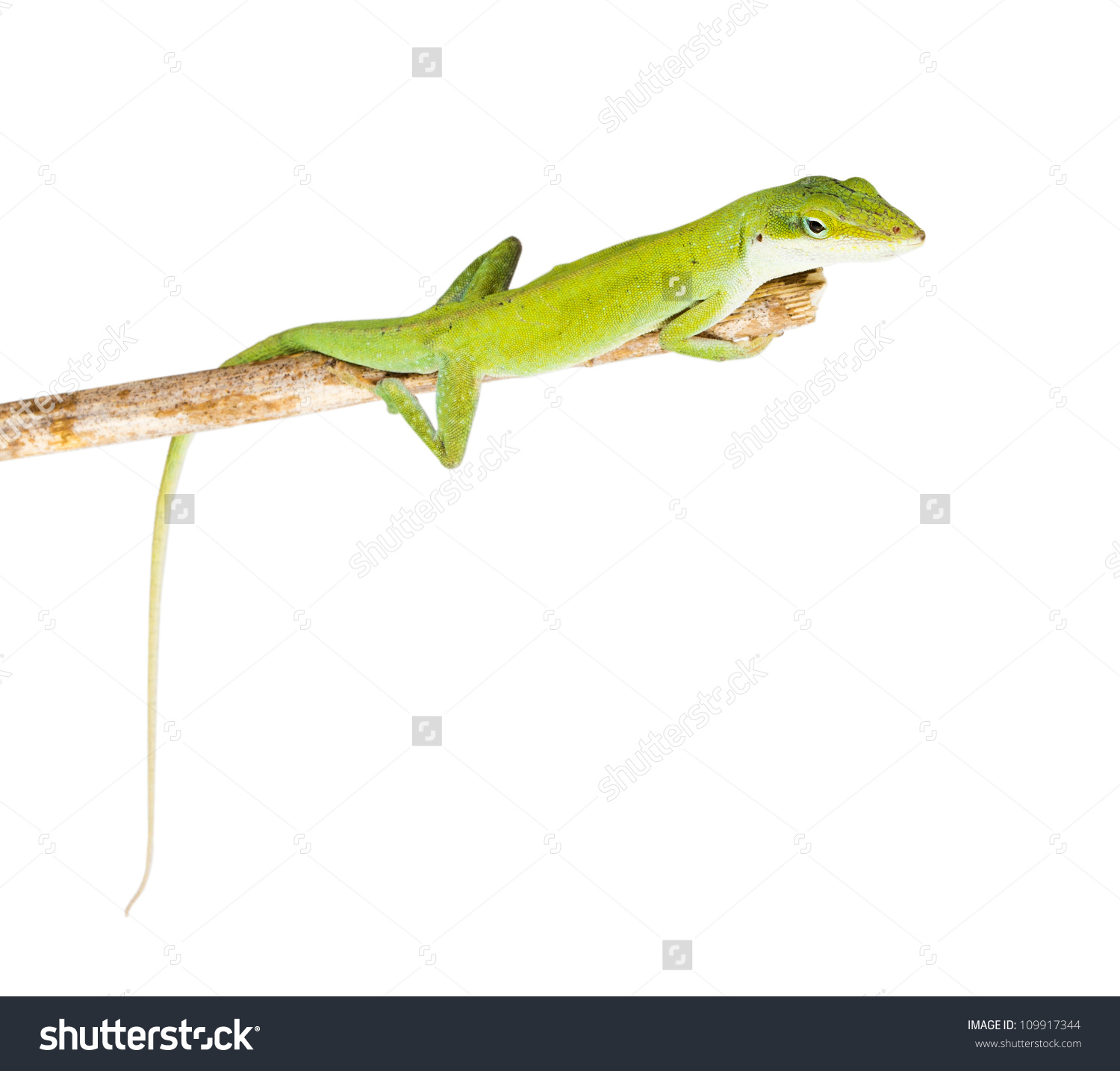 Green Anole clipart #3, Download drawings