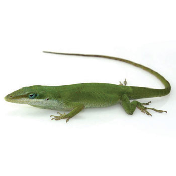 Green Anole clipart #17, Download drawings