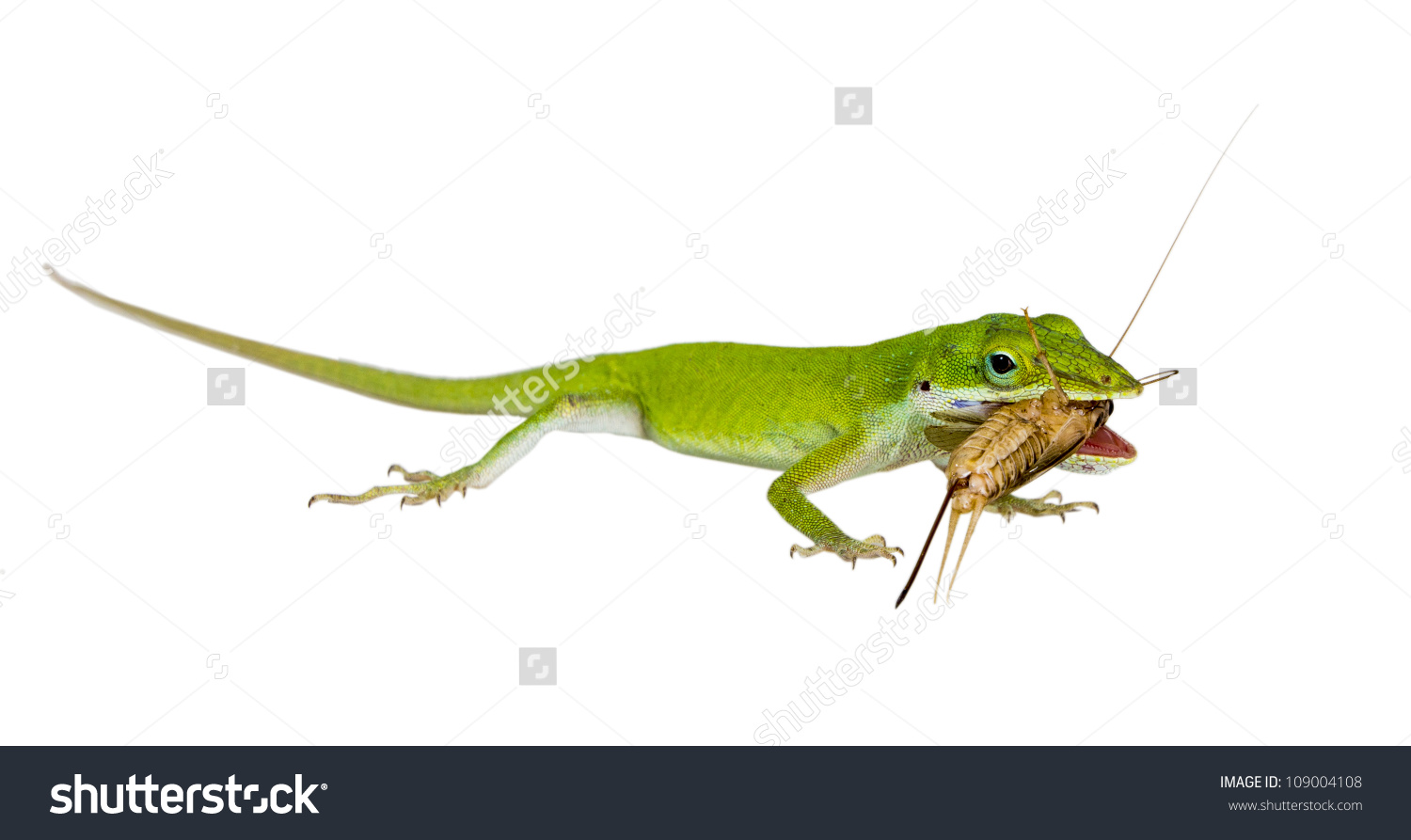 Green Anole clipart #2, Download drawings