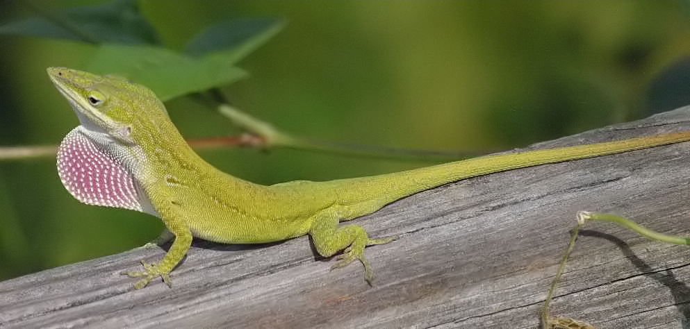 Green Anole coloring #6, Download drawings
