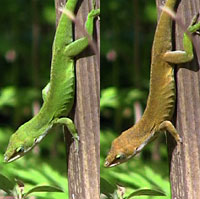 Green Anole coloring #12, Download drawings