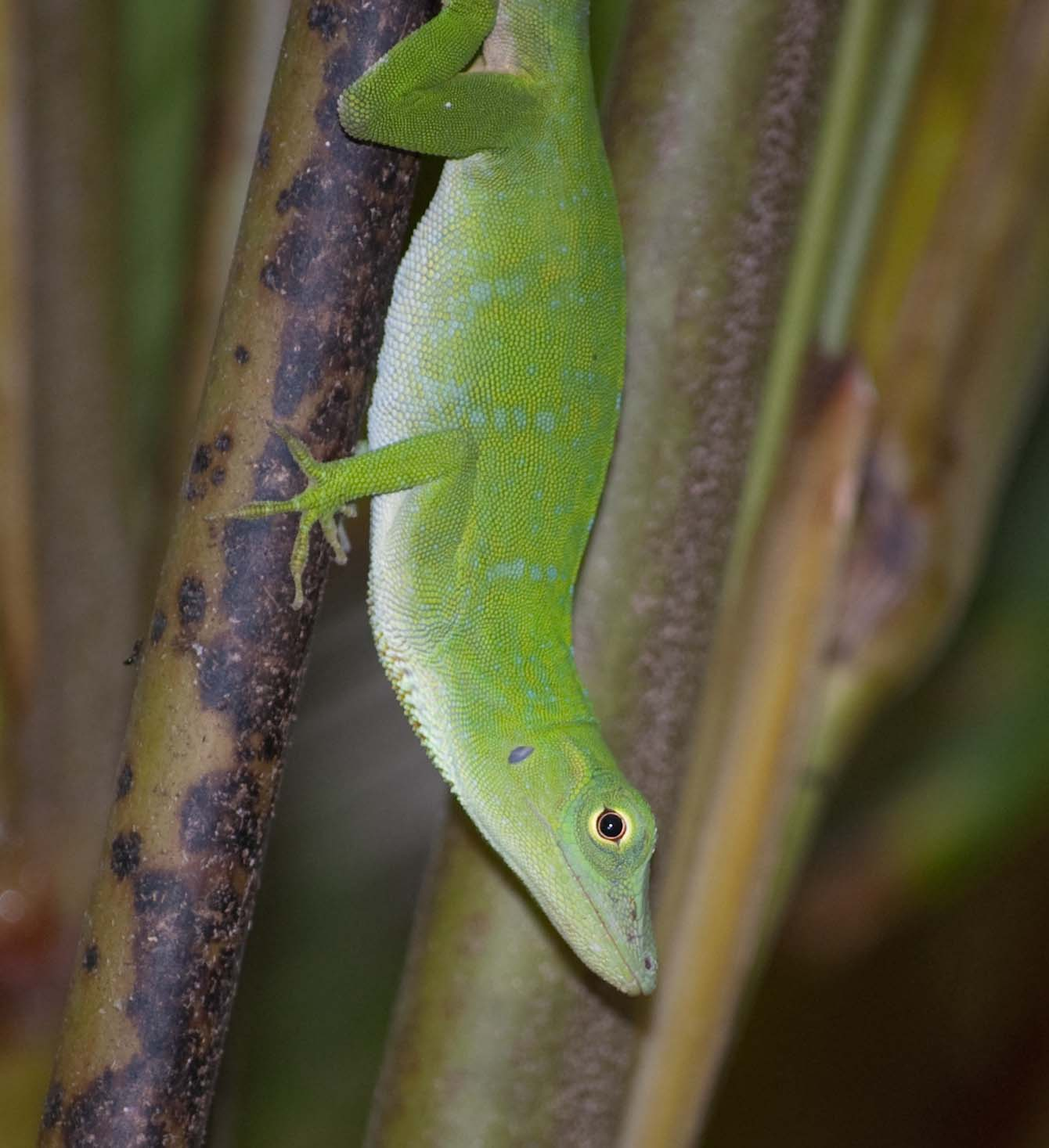 Green Anole coloring #3, Download drawings