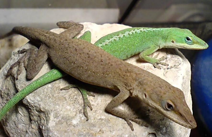 Green Anole coloring #5, Download drawings