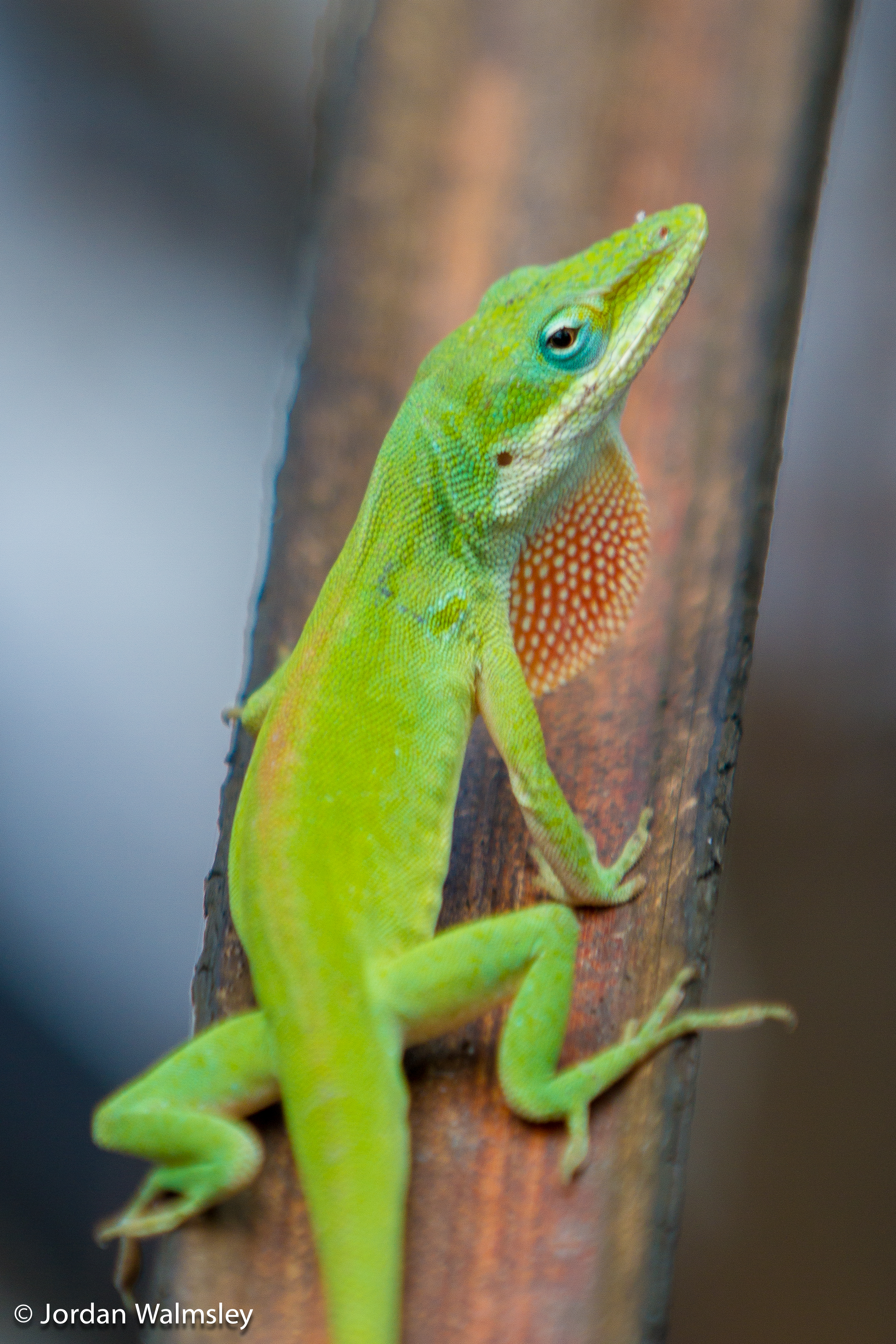 Green Anole svg #4, Download drawings