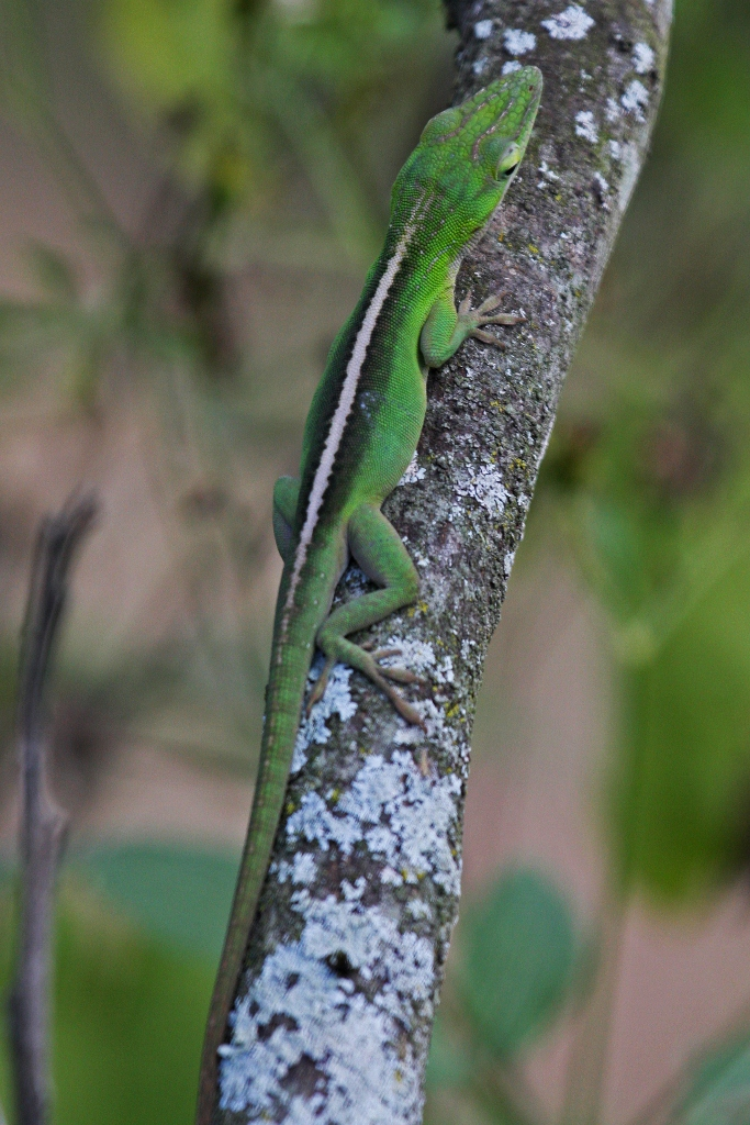 Green Anole svg #14, Download drawings