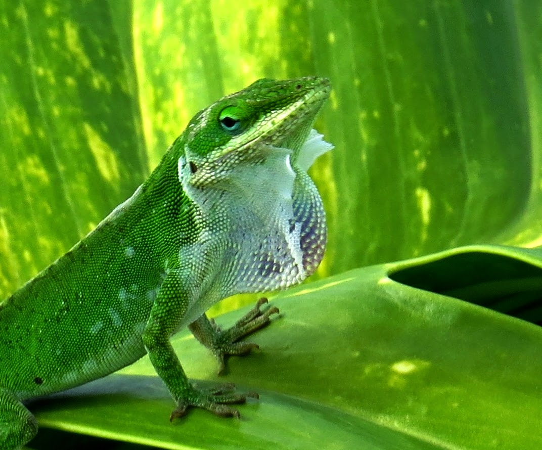 Green Anole svg #9, Download drawings