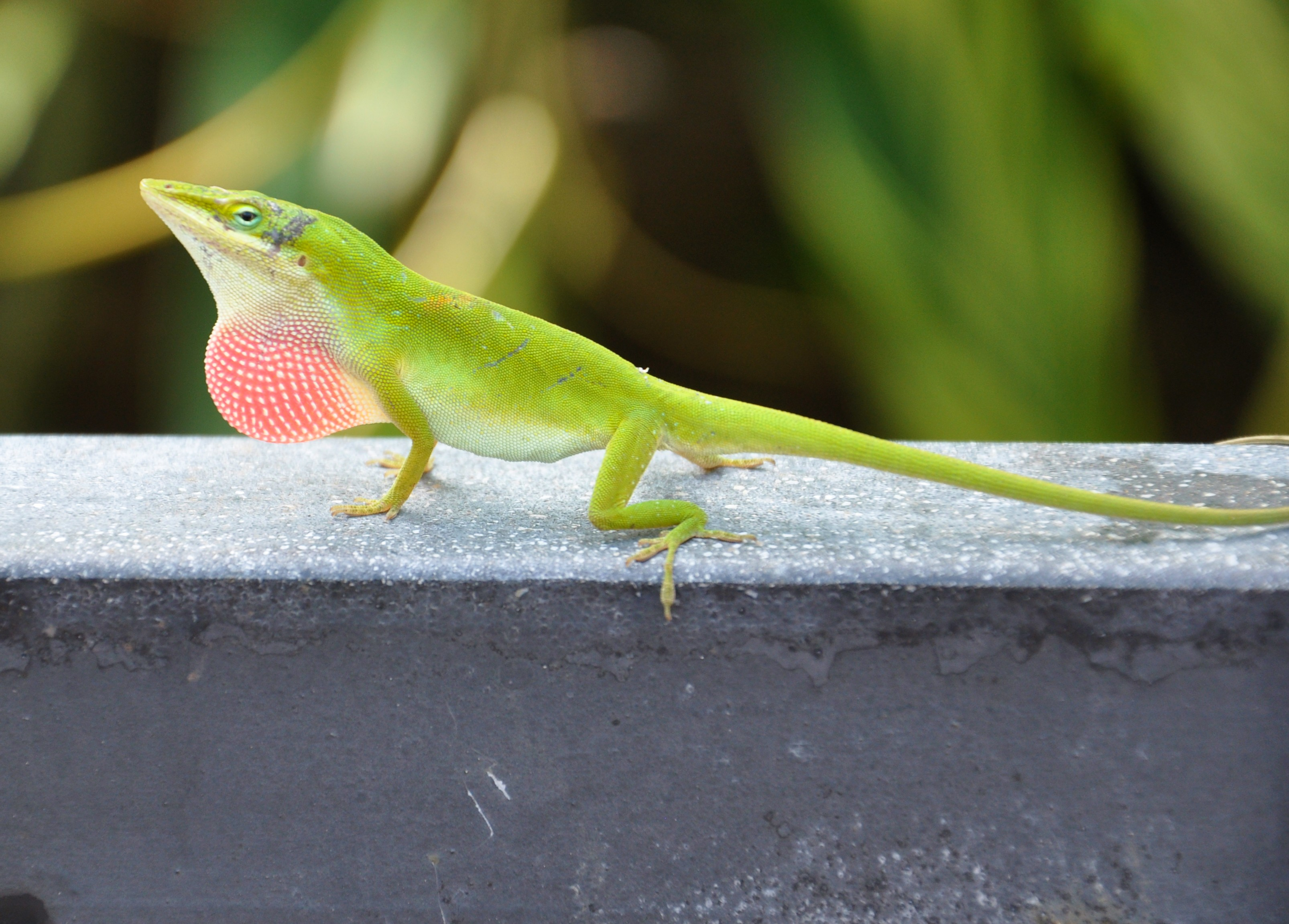 Green Anole svg #10, Download drawings