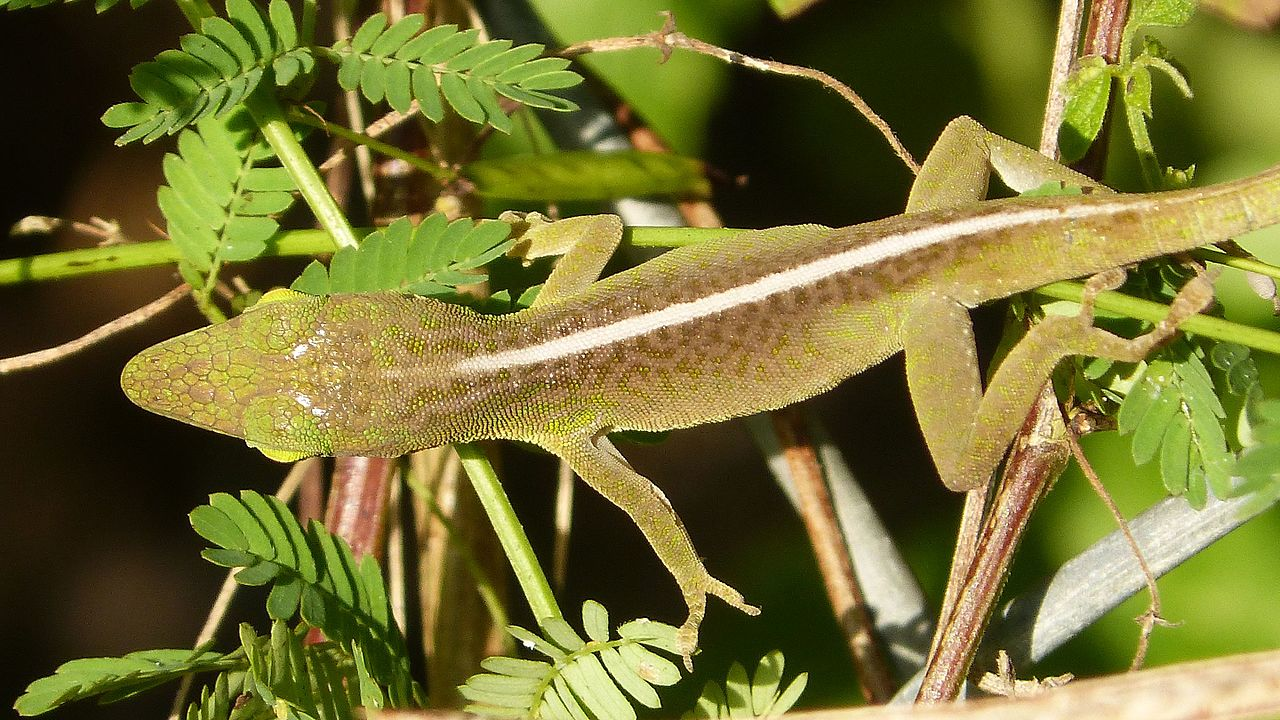 Green Anole svg #8, Download drawings