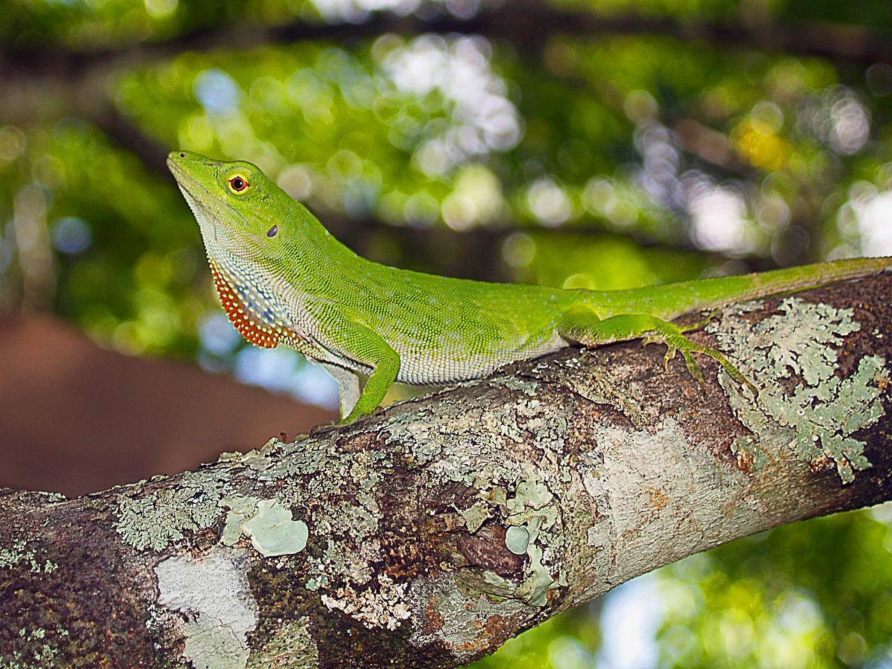 Green Anole svg #2, Download drawings