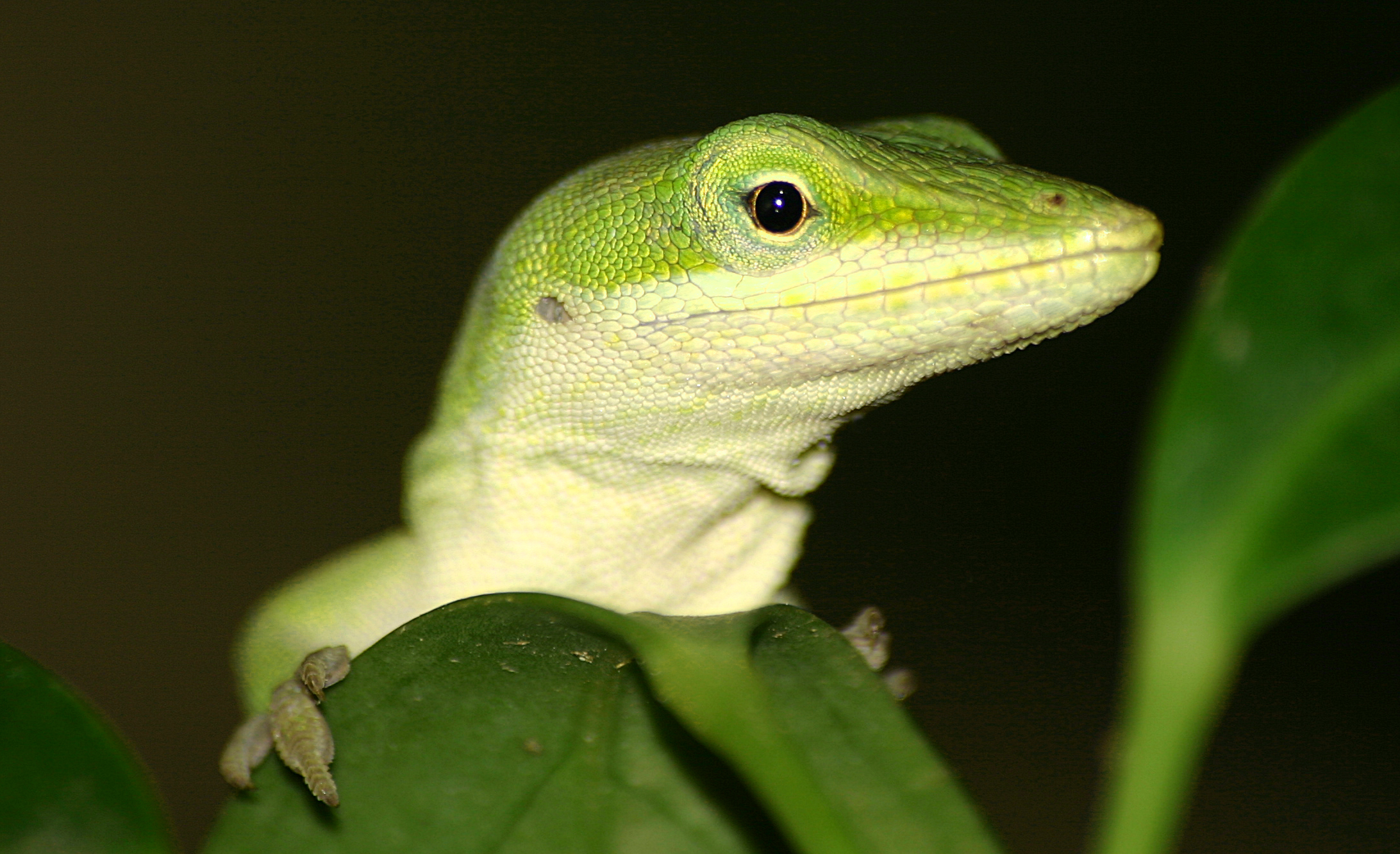 Green Anole svg #6, Download drawings