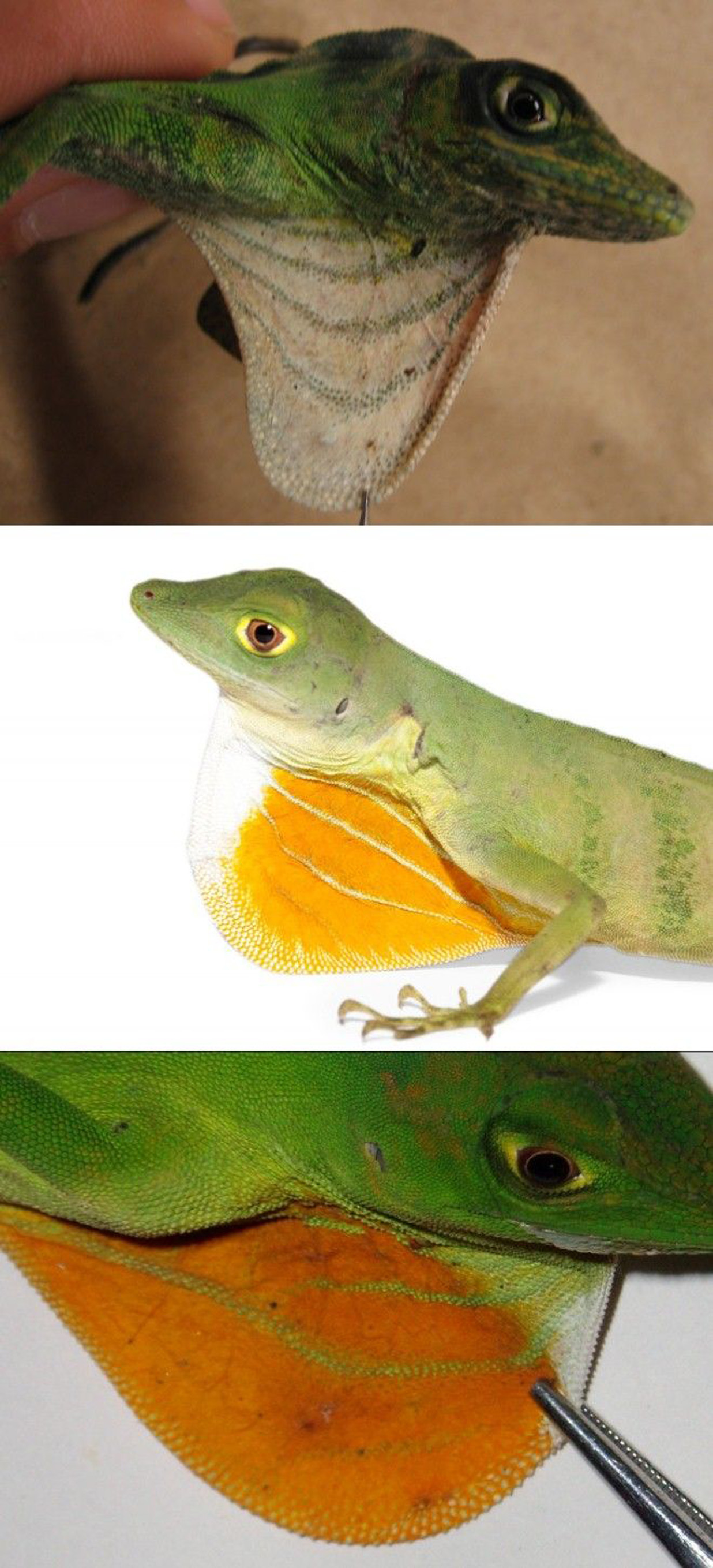 Green Anole svg #3, Download drawings