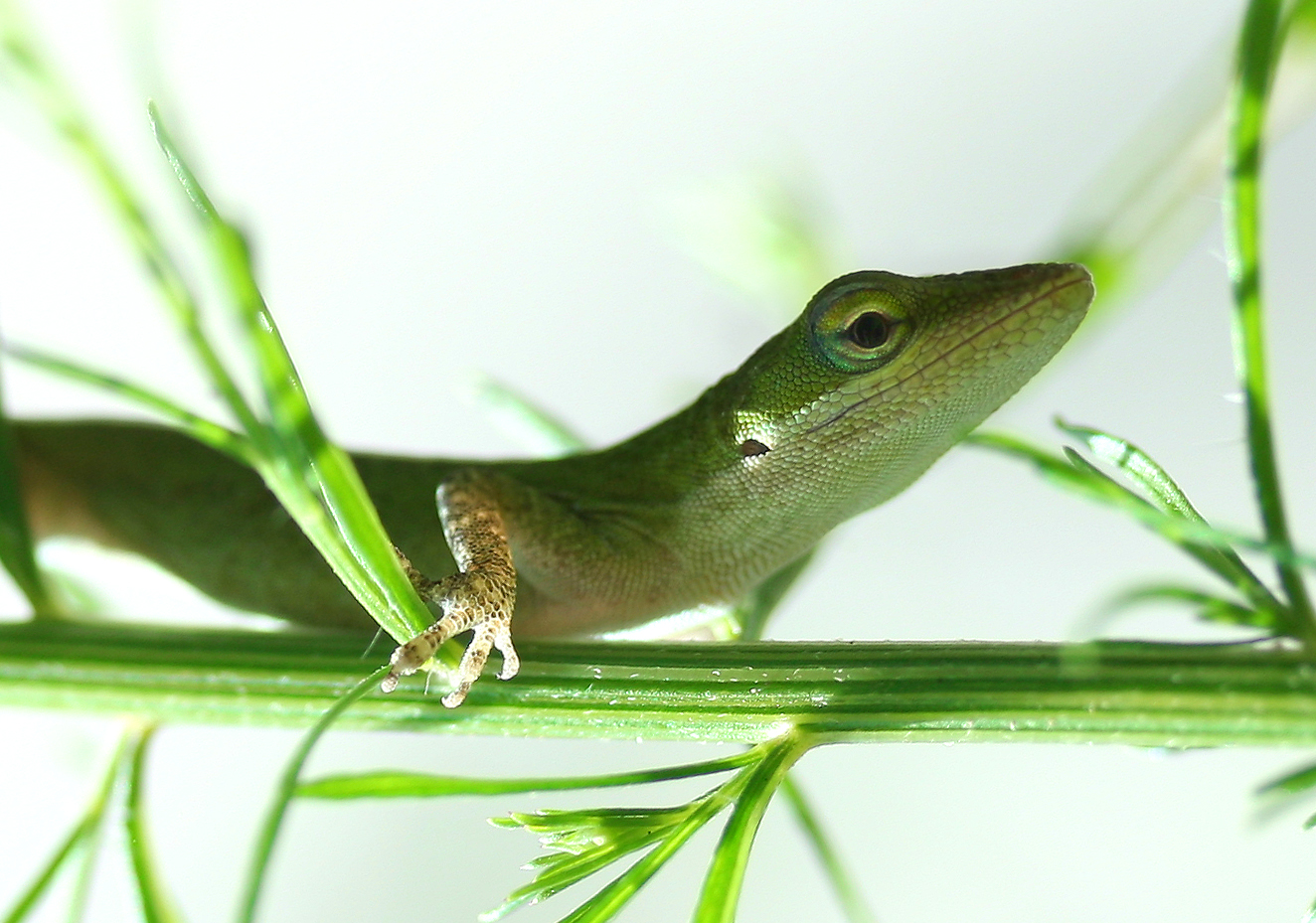 Green Anole svg #7, Download drawings