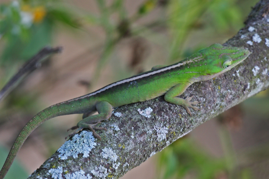 Green Anole svg #15, Download drawings