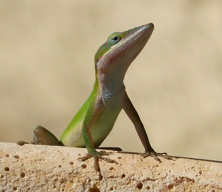 Green Anole svg #13, Download drawings