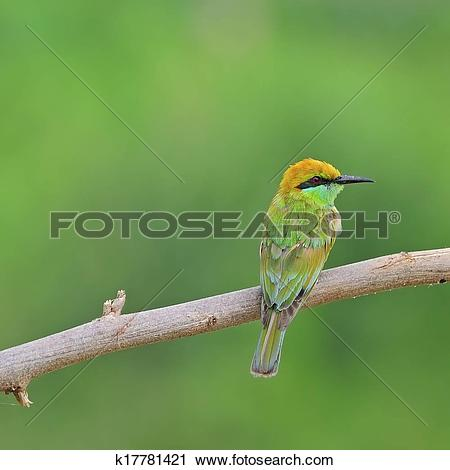 Green Bee-eater clipart #11, Download drawings