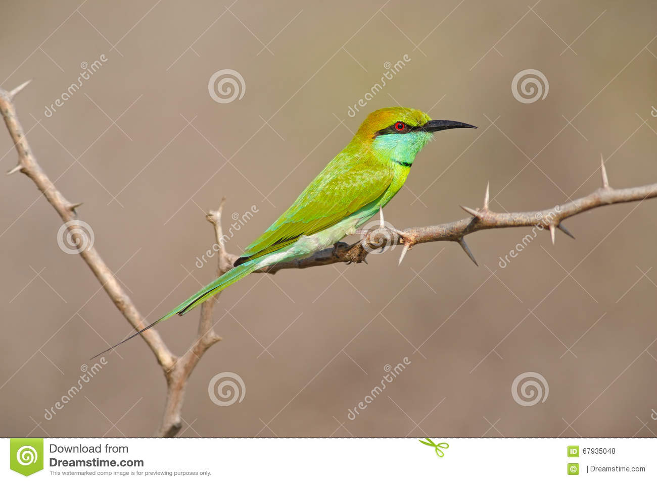 Green Bee-eater clipart #12, Download drawings