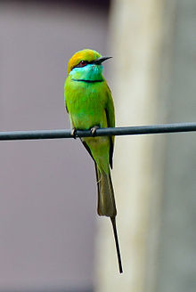 Green Bee-eater clipart #3, Download drawings