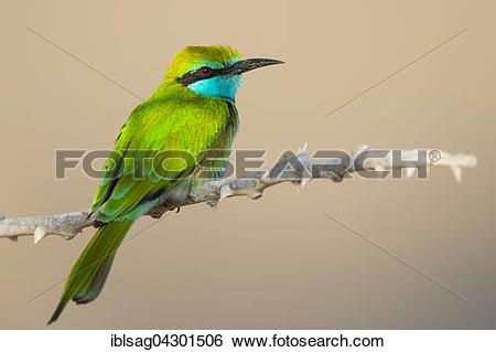 Green Bee-eater clipart #5, Download drawings