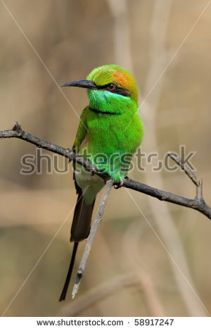 Green Bee-eater clipart #18, Download drawings