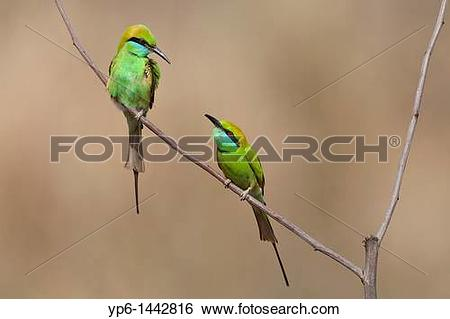 Green Bee-eater clipart #8, Download drawings