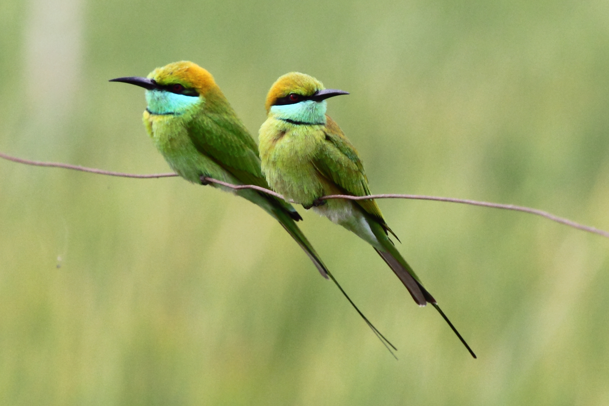 Green Bee-eater coloring #4, Download drawings