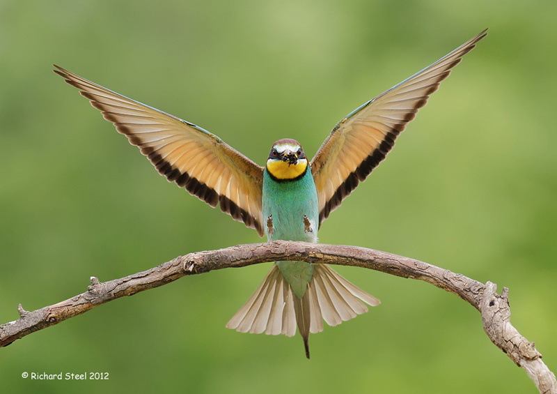 Green Bee-eater coloring #13, Download drawings
