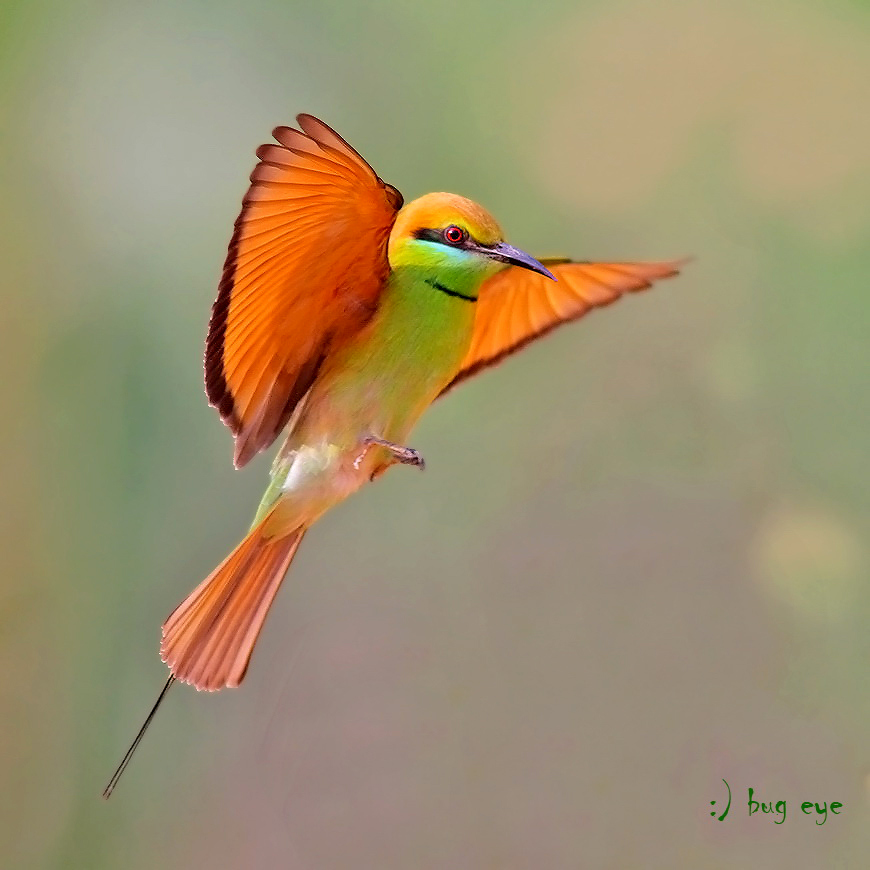 Green Bee-eater coloring #14, Download drawings