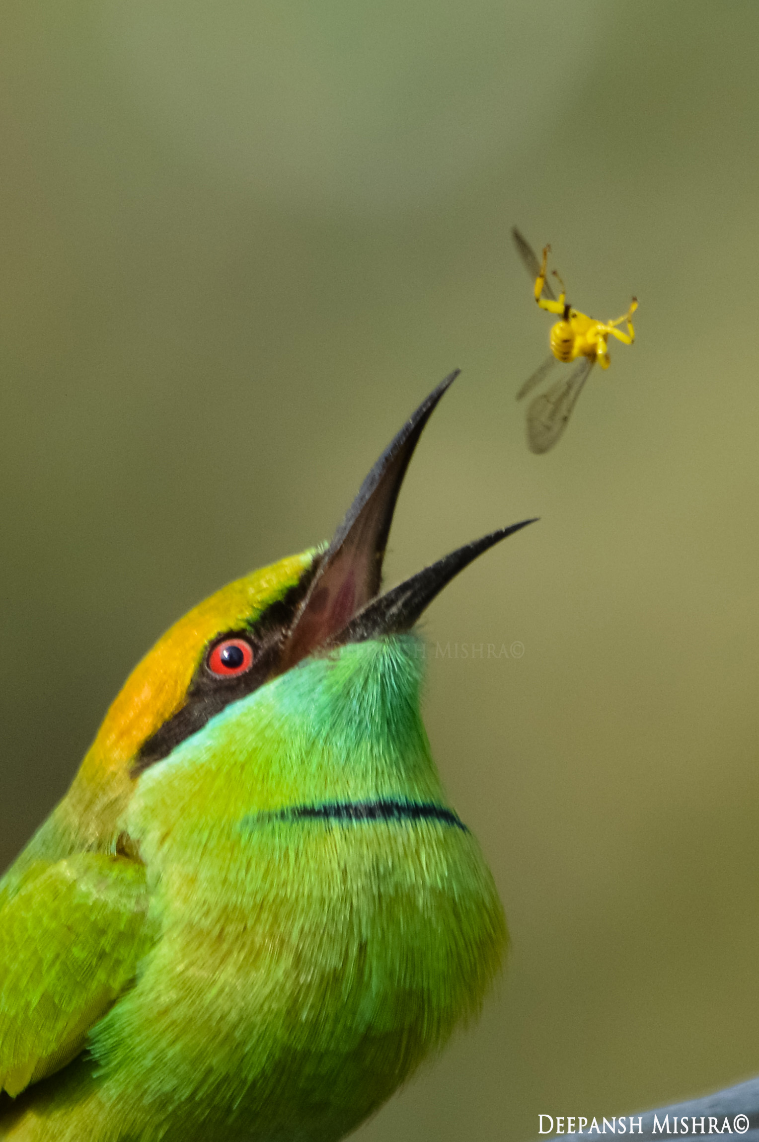 Green Bee-eater coloring #6, Download drawings