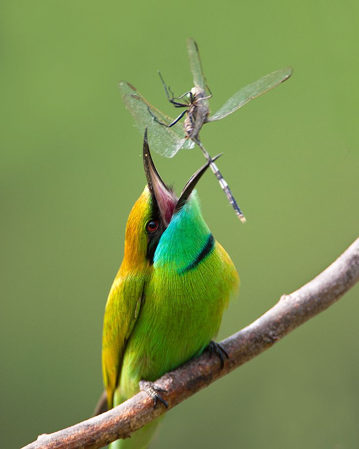 Green Bee-eater coloring #15, Download drawings