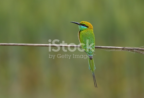 Green Bee-eater coloring #11, Download drawings