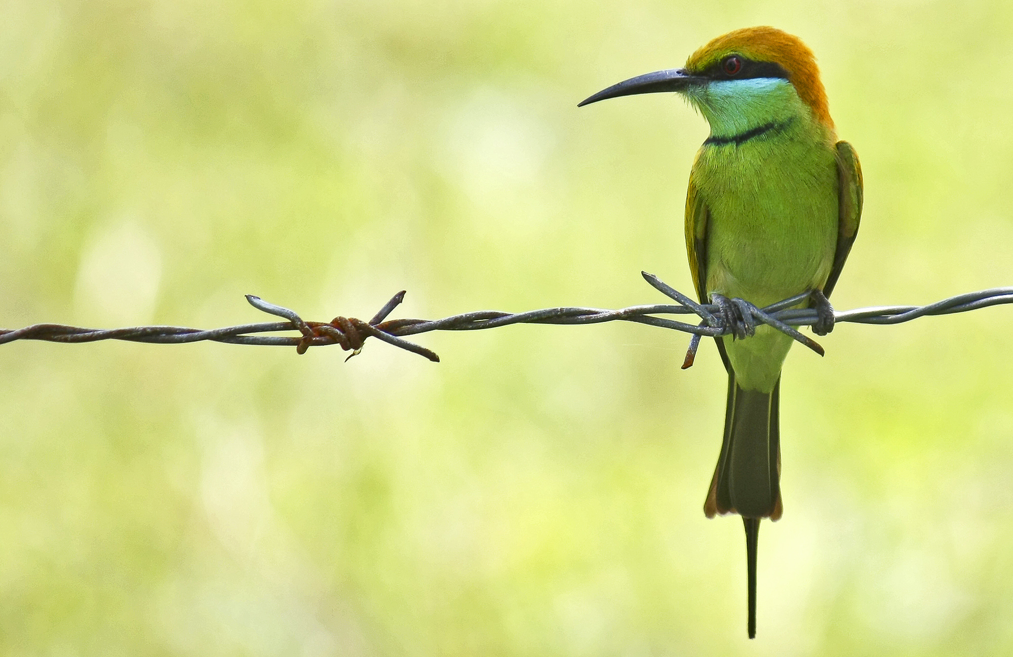Green Bee-eater svg #19, Download drawings