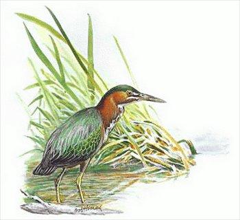Green Heron clipart #20, Download drawings