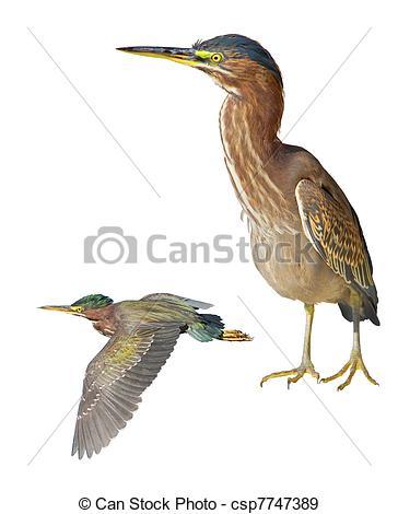 Green Heron clipart #13, Download drawings
