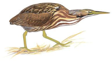 Green Heron clipart #5, Download drawings