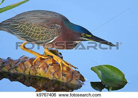 Green Heron clipart #6, Download drawings