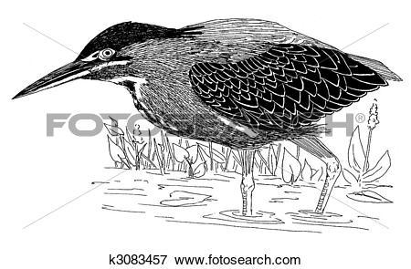 Green Heron clipart #18, Download drawings
