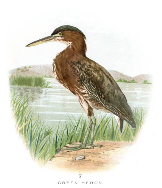 Green Heron clipart #16, Download drawings