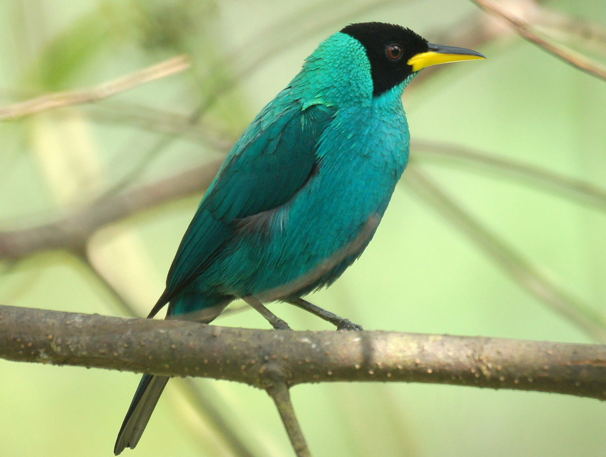Green Honeycreeper clipart #1, Download drawings