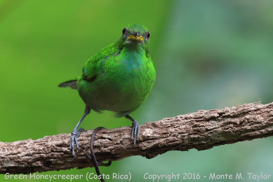 Green Honeycreeper clipart #3, Download drawings