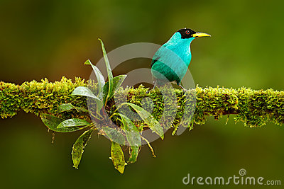 Green Honeycreeper clipart #9, Download drawings