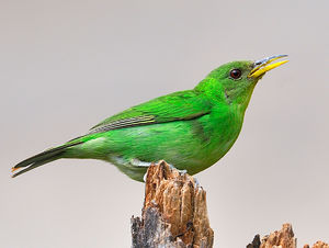 Green Honeycreeper clipart #2, Download drawings