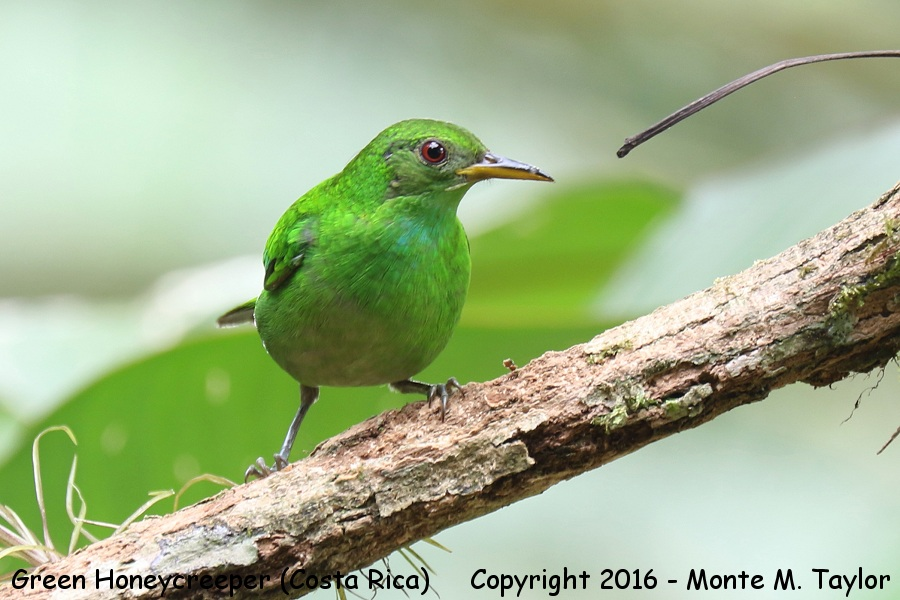 Green Honeycreeper clipart #4, Download drawings